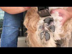Grooming can get expensive, but with a little self teaching you can do it yourself! I've been successful grooming my Goldendoodle Moose from home, and I want. Goldendoodle Grooming, Mini Goldendoodle, Goldendoodles, Labradoodle, Dog Paw Pads, Dog Grooming Tips, Pet Tips, Puppy Face, Dog Agility