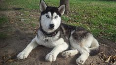 #Lostdog 7-17-14 #Cypress #TX Female #SiberianHusky 1 year old Chipped,no collar Fry, Saums, Morton, Greenhouse 832-330-0935 https://m.facebook.com/photo.php?fbid=10204157059708200&id=1277378097&set=o.222135124488037