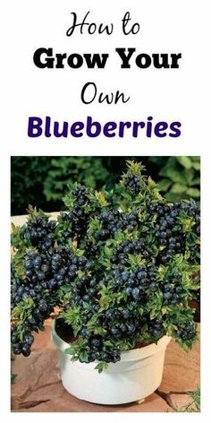 Blueberry bushes seem to pop up everywhere in GA and are pretty simple to grow. Here are some ways you can grow them in a planter. Blueberry bushes seem to pop Fruit Garden, Edible Garden, Veg Garden, Organic Gardening, Gardening Tips, Balcony Gardening, Gardening Books, Vegetable Gardening, Fairy Gardening