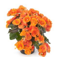1000 images about bloeiende kamerplanten on pinterest chrysanthemum indicum lipstick plant. Black Bedroom Furniture Sets. Home Design Ideas