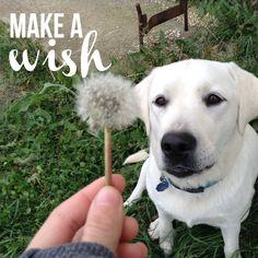 By Camille ! Labrador Retriever, Puppies, Winter, Dogs, Animals, Labrador Retrievers, Animais, Animales, Animaux