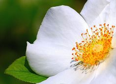 Cherokee Rose (Rosa laevigata) also known as Camellia Rose by ~ Bron ~, via Flickr