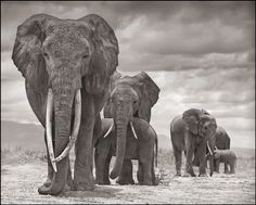 Elephant matriarchs in Amboseli on the Kenya-Tanzania border. Find out what you can do to fight ivory poaching by following the link - photo © Nick Brandt