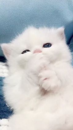 Funny Cute Cats, Cute Baby Cats, Cute Little Animals, Cute Cats And Kittens, Cute Funny Animals, Kittens Cutest, Cute Dogs, White Kittens, Super Cute Cats