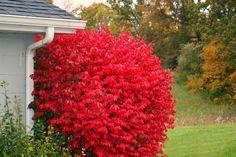 Euonymus Plants For Sale Ground Cover Plants, Plant Sale, Burning Bush, Plants, Garden Shrubs, Shrubs, Euonymus Alatus, Specimen Trees, Landscaping Plants