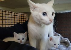 Odd-eyed Cat Mom Found Along with Her Two Mini Me's Behind Vet's Office - Love Meow