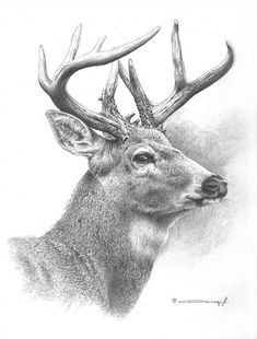 White Tailed Deer Study by denismayerjr on DeviantArt Realistic Animal Drawings, Pencil Drawings Of Animals, Animal Sketches, Drawing Sketches, Deer Sketch, Deer Drawing, Grizzly Bear Drawing, Deer Pictures, Nature Sketch
