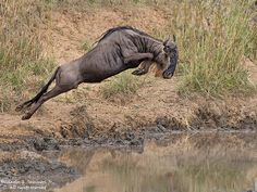 When the migration of the plains animals in the Serengeti starts there will be plenty of this where the White-bearded Gnu is taking the plunge. It was not so deep here. Jungle Animals, Nature Animals, Cute Baby Animals, Wild Animals, Wildlife Safari, Wildlife Art, African Elephant, African Animals, Wildlife Photography