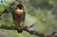 Chim Cắt ức cam Trung và Nam Mỹ Orange-breasted falcon (Falco deiroleucus)(Falconidae) IUCN Red List of Threatened Species 3.1 : Near Threatened (NT)(Loài sắp bị đe dọa)