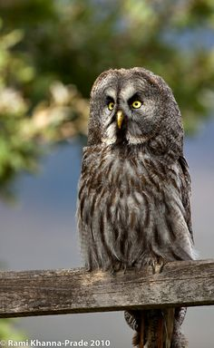 Chouette Lapone / Great Grey Owl | Flickr - Photo Sharing!