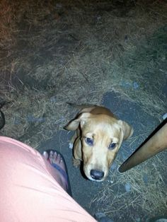 Peaches is a 3 month old female, she came to us with her three siblings from a high kill shelter in GA. We do believe they are Hound crossed with Blue Lacy and expect them to be around 50-60lbs when fully grown. They are fostered with other dogs,...