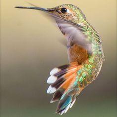 Tracy Johnson fotografias de colibries 6