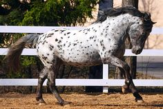 Altai. From Siberia, this breed was originally a very plain, small, hardy horse but crossing with elegant Lithuanian and Russian stock created the modern breed. Most are bay,  brown, and black, but a lot are spotted.