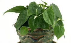 5 Hard-to-Kill Houseplants: Philodendron Feng Shui, Inside House Plants, Cast Iron Plant, Household Plants, Decoration Plante, Low Light Plants, House Plant Care, Spider Plants, Bathroom Plants