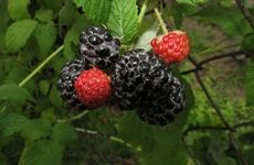 Grow blackberries in your yard or a container.