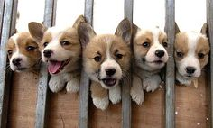 Corgis: one of the cutest dogs ever! Look at those faces! How could you not love them?