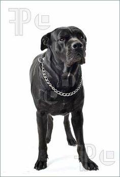 Image of portrait of a purebred  black italian mastiff or cane corso in studio
