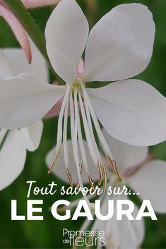 Le Gaura lindheimeri : une vivace à très longue floraison. Découvrez nos conseils pour le cultiver et nos idées pour l'associer. #vivace #gaura