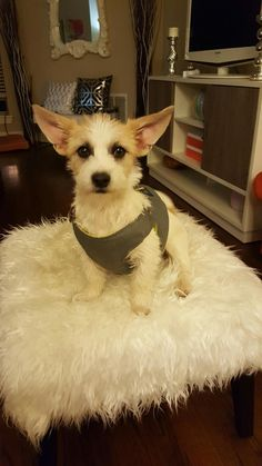 Meet AVA, an adoptable Cairn Terrier looking for a forever home. If you're looking for a new pet to adopt or want information on how to get involved with adoptable pets, Petfinder.com is a great resource.