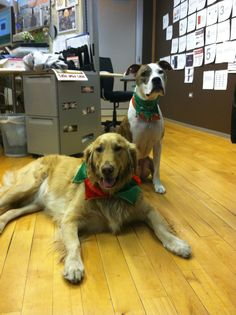Holiday dogs, Fitz and Tiger #goldenretriever #pitbull #dkdawgs