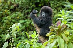 Top 8 Ways to Protect MountainGorillas 1 Trek to see mountain gorillas in Rwanda, DR Congo, or Uganda. 2 Don't trek if you are sick. 3 Stay at least 7m away from gorillas. 4 Donate to conservation organizations working to protect mountain gorillas. 5 When visiting the region do other activities in parks. 6 Support local businesses & community projects. 7 Don't buy products made with wild animal parts. 8 Trek with a tour provider that donates a portion of the trip cost to conservation…