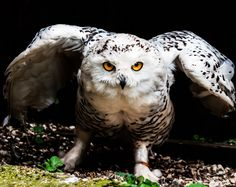 Angry Owl by Tony Hitchinson on 500px