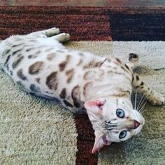 Cats bengal snow new Ideas Pretty Cats, Beautiful Cats, Animals Beautiful, Cute Animals, Bengal Snow, Bengal Cats, Crazy Cat Lady, Crazy Cats, I Love Cats