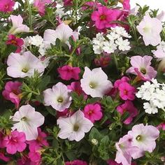 2014 Proven Winners National Combo...Let us help you with your garden Inspiration with our three in one plant combination! Enjoy the beautiful colors of Supertunia® Mini Apple Blossom Petunia, Superbells® Pink, and Superbena® Royale White Cap Verbena planted in your landscape or in your container gardens.