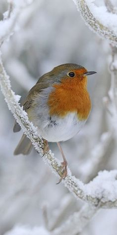 Beautiful Birds, Animals Beautiful, Cute Animals, Nature Animals, Woodland Animals, European Robin, Robin Redbreast, Robin Bird, Winter Images
