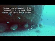 Goliath Grouper - YouTube