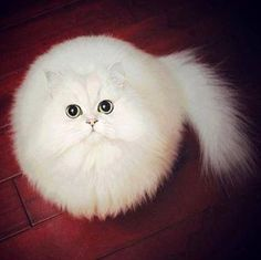 a fluff-ball of a cat looking not unlike a cotton wool ball with a tail