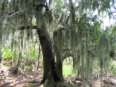 You know you are in South Louisiana when you see our Spanish Moss hanging from the trees.