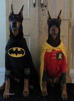 batman and robin; dobermans