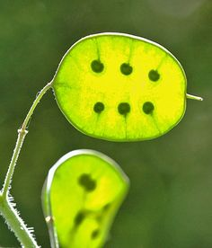 When honesty seed pods ripen they are flattened and composed of three components. Imagine three large 'coins' joined to each other all around their rims, with the central 'coin' attached to the plant via a stalk.
