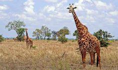 Żyrafa jest najwyższym z żyjących obecnie zwierząt. Zamieszkuje afrykańskie sawanny na południe od Sahary.Siedliskiem żyraf są suche tereny trawiaste (sawanny) i lasy parkowe. Mogą one przebywać z dala od źródeł wody. Samce są większe od samic, osiągają wzrost do ponad 5 metrów i wagę ponad 1300 kilogramów. Umaszczenie żyraf stanowi chroniący je kamuflaż i naśladuje rozproszone światło sawanny.
