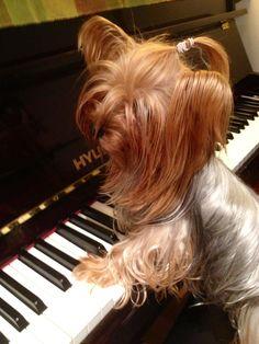 #yorkie  pianist