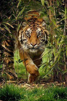 Amazing Animals, Majestic Animals, Animals Beautiful, Beautiful Words, Beautiful Creatures, Cross Paintings, Animal Paintings, Tiger Fotografie, Tiger Poster