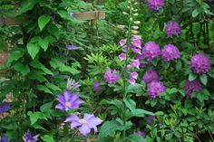 Clematis, Rhodies, and Foxglove