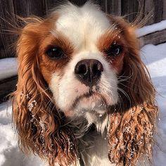 Snow scowl. #dog #dogs #katanddog #ckcs #cavalier #cavalierkingcharles #kingcharles #spaniel #blenhiem
