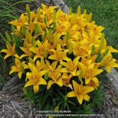 "Tiny Bee Asiatic Lily is short, under 18"", but it is a very"