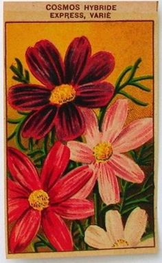 French Flower Seed Label, Cosmos Hybride