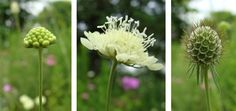 This is how the scabiosa pods evolve in the field.