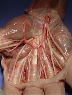 Dissection of the hand showing both the nerves and vascularization. Some git reported this as nudity and got this pulled. Ben and the Pinterest team can kiss my ass. It's back in. Deal with it