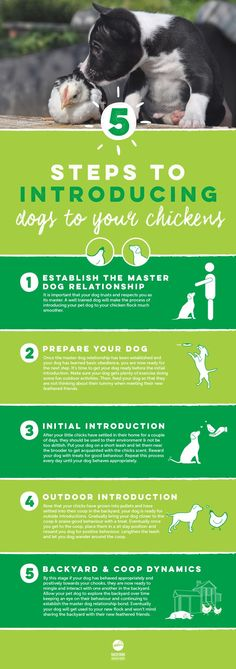 Are you thinking about introducing a new flock of chickens into your family but concerned about how the family dog will respond? Your dogs will love getting to know their new feathered friends and will be sure to protect them like a big sibling. Check out our guide on introducing your family dog to your chicken flock here, http://www.backyardchickencoops.com.au/introducing-dogs-to-your-chickens #loveyourchickens #dogslovechickens #infographic