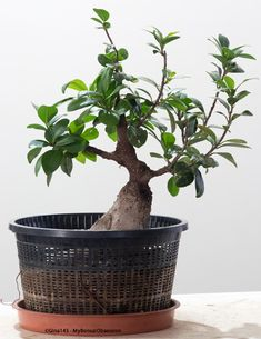 My Bonsai Obsession: Ginseng Ficus - creating movement and taper Ficus Ginseng Bonsai, Ficus Bonsai Tree, Bonsai Tree Care, Ficus Microcarpa, Bonsai Garden, Planting Flowers, Planting Plants, Container Plants, Live Plants