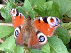 Dagpauwoog (NL) - European Peacock (EN) - Aglais io