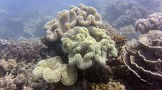 A photo taken on September 22, 2014, shows bleached coral on the Reef, a key Australian tourist attraction.