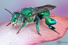 The beautiful Orchid Bee - Euglossa dilemma