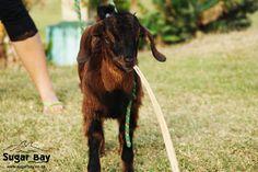 Sugar Bay Camp for Kids Kwazulu Natal, Holiday Resort, Beautiful Creatures, Goat, South Africa, Camping, Sugar, Nature, Campsite