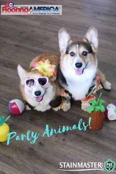 Ralph and George are ready to party! With Stainmaster Pet Protect luxury vinyl plank you can all let loose and feel confident in your #flooring choice.